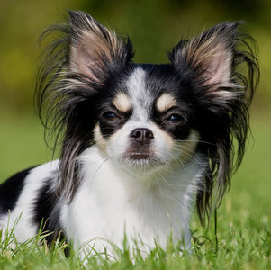 What does the word chihuahua mean?
