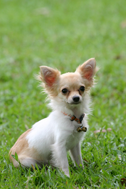 Which of these breeds is the ancestor of the Chihuahua?