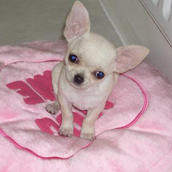 Chihuahuas are born with floppy ears which then begin to stand up when they are 3 to 4 months of age.