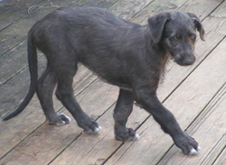 What breed is this puppy ?