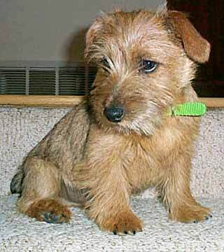 What breed of terrier is this puppy 