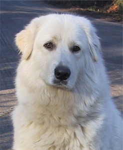 The Maremma Sheepdog was bred in which country ?
