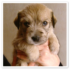 What breed is this cún yêu, con chó con ?