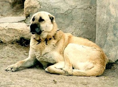 From which country does the Kangal Dog originate ?