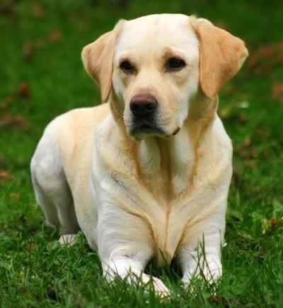 From which country does the Labrador Retriever originate ?