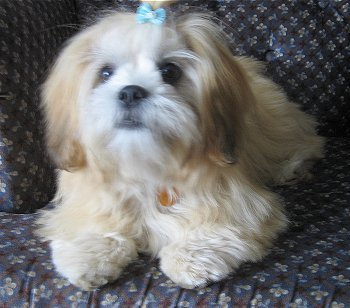 From which country does the Lhasa Apso originate ?