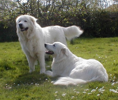 From which country does the Maremma Sheepdog originate ?