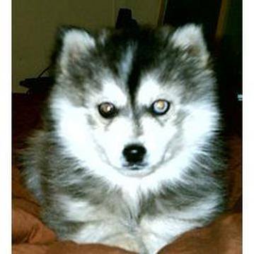 From which country does the Miniature Siberian Husky originate ?