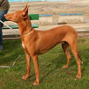 From which country does the Pharaoh Hound originate ?