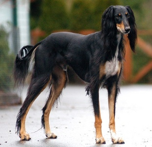 From which country does the Saluki originate ?