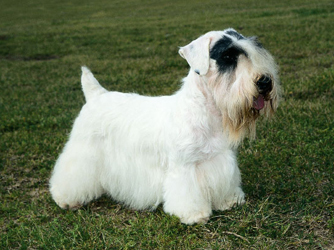 From which country does the Sealyham Terrier originate ?
