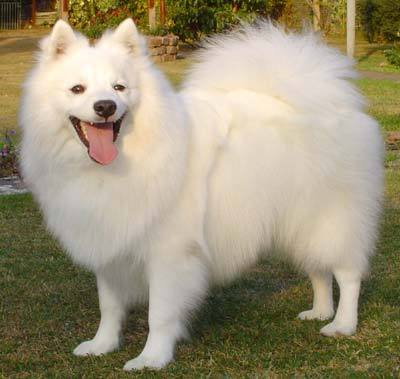 What group does the Japanese Spitz belong ?