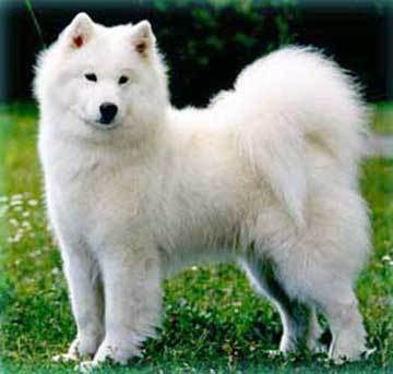 Which group does the Samoyed belong ?