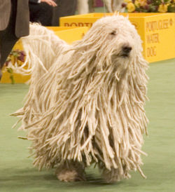 From which group does the Komondor belong ?