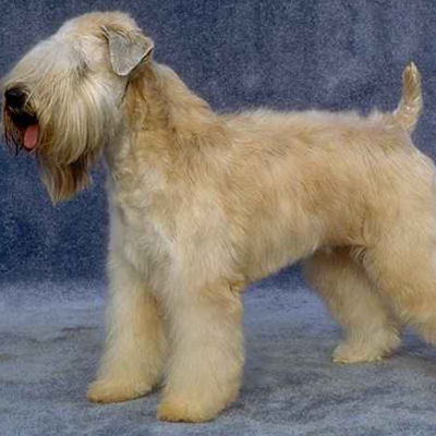 From which country does the Soft-Coated Wheaten Terrier originate ?