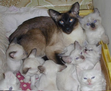 This is a family of which breed of kitten ?