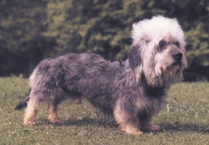 In which year was the Dandie Dinmont Terrier first recognized by the UKC ?