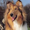 This breed of dog was made famous 의해 the TV series Lassie. But what breed is it?