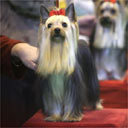 These are yorkshire terriers in the show ring. What group of dog do they belong to?
