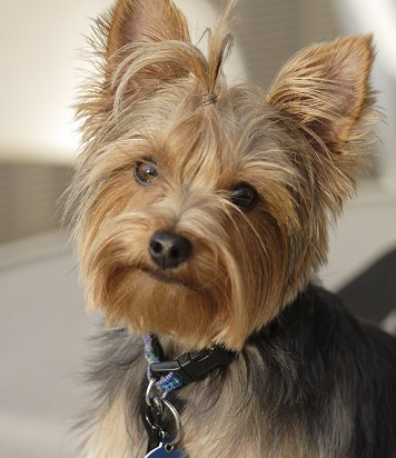 What colour should Yorkies' nails be?