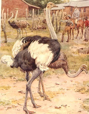 How many species of Ostrich are there? - The Kasey's World of