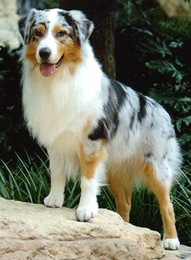 The Australian Shepherd originated in Australia ?