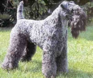 The Kerry Blue 테리어 was bred in Ireland for the purpose of ratting, as well as 오소리 and 여우 hunting. For what reason was this dog called the Kerry Blue Terrier?