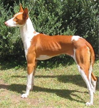 Ibizan Hound Dog Breeds