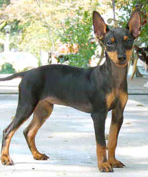 The Manchester Terrier is a smart looking medium size dog. Most terriers were bred to catch rats. Where were Manchesters particularly employed in catching rats?