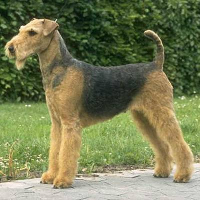 The Airedale is a terrier from Yorkshire but unlike the tiny Yorkie is the largest of the terrier breeds. What tasks have Airedales been trained to do?