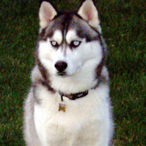 In 1925, which Siberian Husky traveled through -70 degree temperatures, near whiteout conditions,for 91 miles to relay serum for use in combating a diptheria epidemic ?