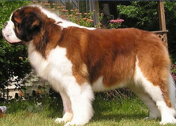 What dog saved the lives of 40 people while working for monks (1800-1810) at a travelers way station at the 8,100 foot high Great Saint Bernard Pass in the Alps?