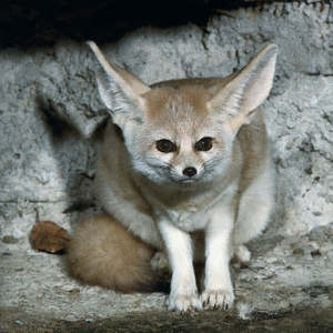 What is the benefit of the desert foxes ears being so big?