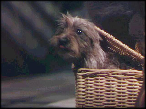 In the movie Toto was a male but in real life ____________