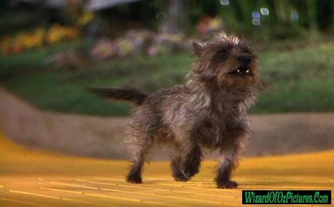 What breed of dog is Toto? - The Toto (The Wizard of Oz) Trivia ...