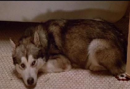 In which vampire film do you meet a husky called Nanook?