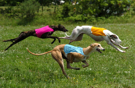 The Greyhound, can reach speeds of up to _____ mph ?