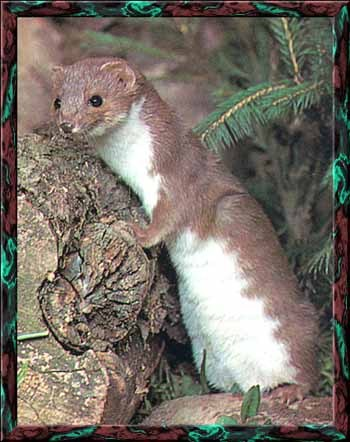 IS WEASEL JUST A FAMILY NAME,OR ANIMAL NAME?