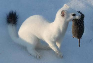 An Ermine is a kind of weasel that's white in the winter and brown in the summer. What is an erimine called in the summer when it's brown?