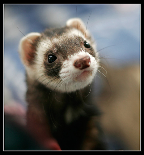 Do ferrets love to dig?