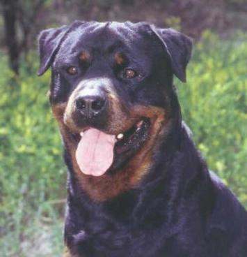 What occupation helped the struggling Rottweiler population reemerge th the beginning of the 20th century ?
