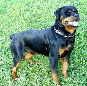 According to the AKC it is acceptable for Rottweilers in the show ring to be ?