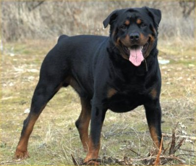 Rottweilers are considered ....... Dogs ?