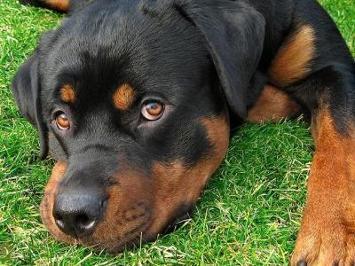 Where did the name Rottweiler originate?