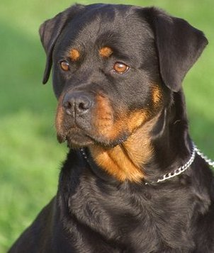 Which of the following health problems are Rottweilers prone to?