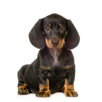 Dachshunds are _______ hounds.