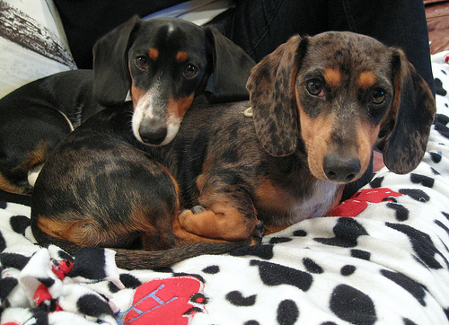 Dachshunds can be good with children only if they are appropriately socialized?
