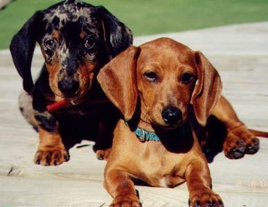 It is possible to reduce the risk of back problems for your dachshund?