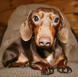 If আপনি adopt an older dachshund, it cannot be trained?