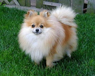 Pomeranians are extremely loyal.